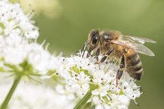 Bee on cow parsley on Southampton Common. A bee on cow parsley on Southampton Common royalty free stock photo