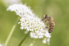Bee on cow parsley on Southampton Common. A bee on cow parsley on Southampton Common stock images