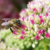 Bee on Crassula. Bee pollinating flowers in crassula flower Stock Photos