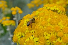 Bee crawling across pollen filled yellow flowers Royalty Free Stock Images