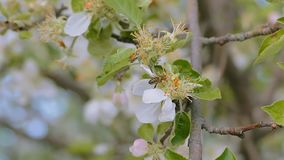 The bee crawling on apple tree flower slow motion video stock video footage