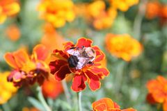 Bee crawling on red and orange flowers. A bee crawling on some red and orange flowers in a garden Stock Photo