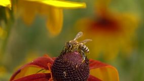 Bee crawling on rudbeckia flower and flying away. Super slow motion macro clip, 250 fps stock video
