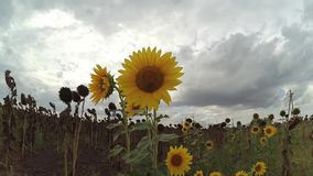 the bee crawls along the sunflower, stock video