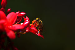 Bee and crimson red flower Royalty Free Stock Image