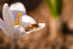Bee on Crocus Royalty Free Stock Photo