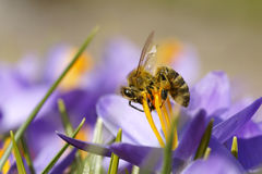 Bee on a crocus Royalty Free Stock Photos