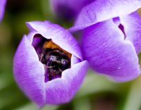 Bee in crocus Stock Photo