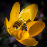 Bee at crocus chrysanthus Royalty Free Stock Image