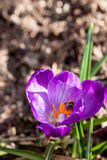 Bee on crocus Stock Images