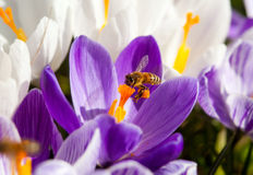 Bee on a crocus. Spring is arriving, a bee is working hard to make honey, macro shot of bee pollinating a Pourple and white Flower Stock Photo