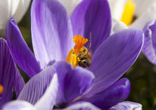 Bee on a crocus Royalty Free Stock Image