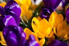 Bee on Crocus Royalty Free Stock Photo