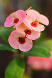 Bee on Crown of Thorns flower. Crown of Thorns flower (Euphorbia milii, Christ plant, Christ thorn) is pink flower with densely spiny stems Stock Photos