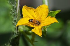 Bee and cucumber flower. Royalty Free Stock Photo