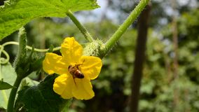 Bee on a cucumber flower stock video footage