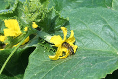 Bee on cucumber plant Royalty Free Stock Photos