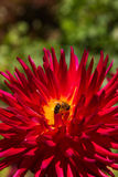 Bee in Dahlia Stock Photography