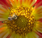 A bee on a dahlia. A bee crawling on the center of a dahlia flower Stock Image
