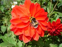 Bee and red dahlia flower Royalty Free Stock Photos