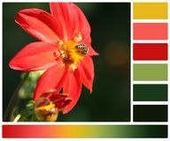 Bee On Dahlia Flower. Palette With Complimentary. Colour Swatches Royalty Free Stock Image
