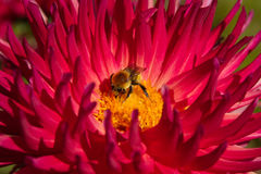 Bee in Dahlia Royalty Free Stock Images