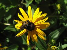 Bee on Daisey. Solitary bee on yellow daisy bloom Royalty Free Stock Photos