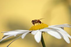 Bee on daisy. Bee gathering pollen on daisy (yellow background Royalty Free Stock Photography