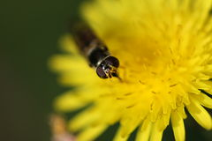 Bee on a Daisy. Macro shot of a bee collecting pollen on a daisy flower, Melbourne, Australia Royalty Free Stock Image