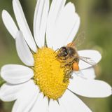 Bee on a daisy. A bee on a daisy stock images