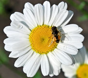 Bee on daisy Stock Photo