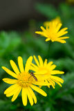 Bee with daisy Stock Images