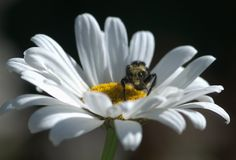 Bee on a Daisy. Bumble bee collecting pollen from a daisy in a meadow outside Portland, Oregon stock photos