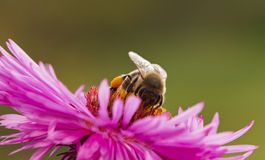 Bee on a daisy. Stock Photos