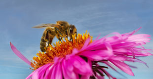 Bee on a daisy. Royalty Free Stock Photos