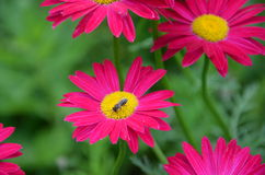 Bee on Daisy Stock Photography