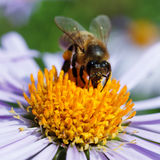 Bee and a daisy Stock Image