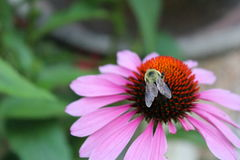Bee on daisy. Close up of bee on a daisy Stock Photo