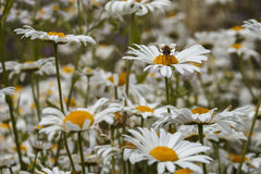 A bee on a daisy in a field of many white daisies Royalty Free Stock Photos