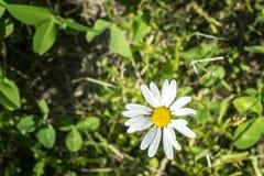 Bee on a Daisy stock photos