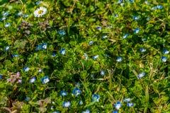 bee on daisy Royalty Free Stock Image