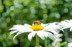 Bee on a daisy Royalty Free Stock Images