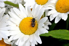 Bee on Daisy Royalty Free Stock Photography
