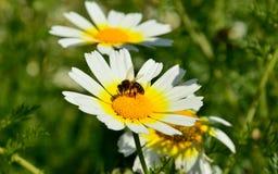 Bee on daisy. Small bee on beautiful daisy in full splendor Royalty Free Stock Photo
