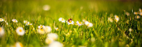 Bee on daisy Stock Photos