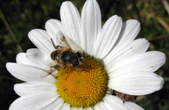 Bee on daisy. Bee taking pollen from a daisy Stock Images