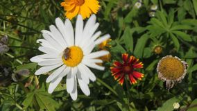 Bee on daisy Royalty Free Stock Photos