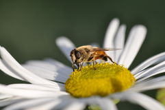 Bee on a daisys. Honey Bee On a white and yellow flower.  Honey Beeon a  Single Flower Flower, Landing, Pollen, Pollination, White, Yellow, nector Stock Images