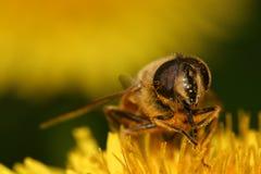 Bee on dandelion. Macro of a bee on dandelion Royalty Free Stock Image