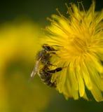 Bee on Dandelion Royalty Free Stock Image